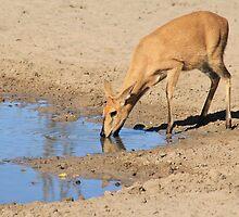 Duiker - African Wildlife Background - Blue Pleasure by LivingWild