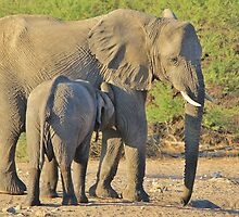 Elephant - Suckling Calf - African Wildlife Background  by LivingWild