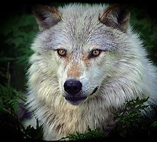 White Wolf Portrait  by Val  Brackenridge