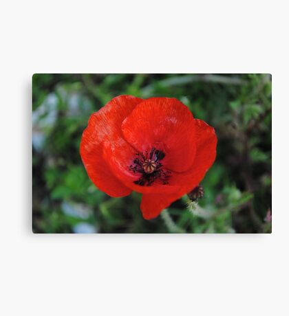 A Poppy By Any Other Name Canvas Print