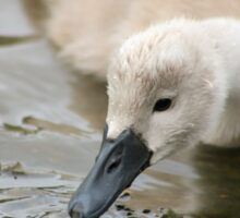 Growing cygnet Sticker