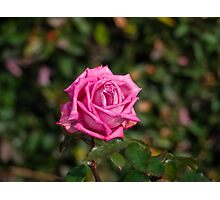 The Rose is a Rose......... Photographic Print