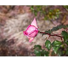 The Rose is a Rose from....... Photographic Print