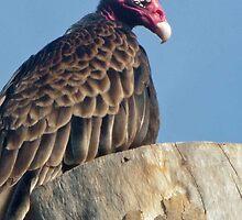 Turkey Vulture by Bine