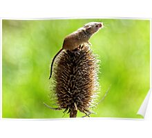 Harvest Mouse (2) Poster