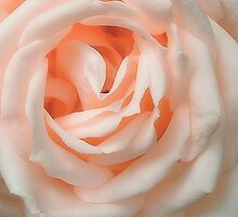 An English Rose by Christine Lake