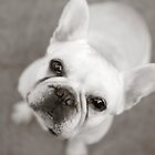 CREAMY FRENCH BULLDOG by CRYROLFE