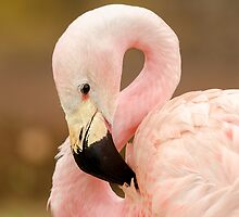 Chilean Flamingo by Darren Wilkes