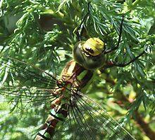 Southern Hawker dragonfly close-up by Rivendell7