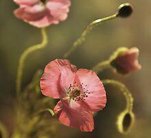 Pink Poppies by JBlaminsky