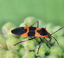 Shield Bug by Keala