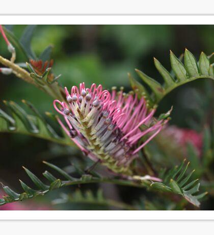Pink Grevillea  Sticker