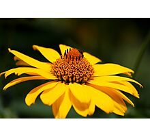 Maximilian's Sunflowers Photographic Print