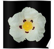 Gum Rockrose Flower Poster