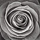 Stone Rose by Ramona Farrelly