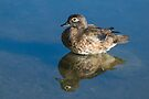 Female Wood Duck and Her Reflection in Still Water by Gerda Grice