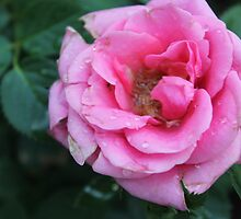 Rosy Tenderness by Gabrielle Wilson