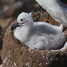 Black-browed Albatross Chick by Carole-Anne