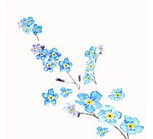 blue forget me not  Photographic Print