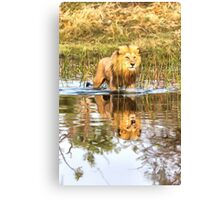 Lion in River with Reflection Canvas Print