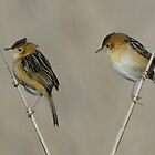 0824_7531 Golden-headed Cisticolas_Hexam Swamp. by Alwyn Simple