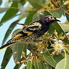 0583_7465 Regent Honeyeater_Tanilba Bay by Alwyn Simple