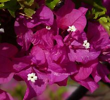 Brillitan Bougainvillea by KMorral