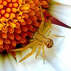 Baby Crab Spider by ©The Creative  Minds
