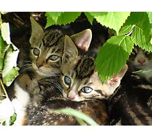 Kittens hiding Photographic Print
