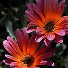 Daisies in the Sun's Rays by Heather Friedman