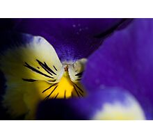 pansy Photographic Print