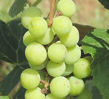 Through the Grape Vine by Nandi Harrison