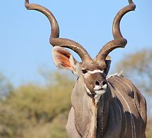 Kudu Bull - African Wildlife Background - Spiral Elegance by LivingWild