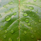 Raindrops on a rose leaf by Anna Myerscough