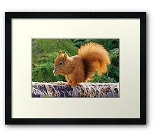 Red Squirrel with Nuts Framed Print