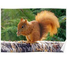 Red Squirrel with Nuts Poster