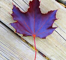 Leaf from Red Maple Tree by Mike Solomonson