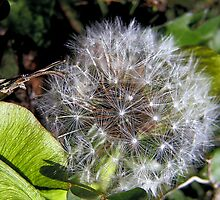 Dandelion Wishes by Claire Belyea