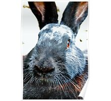 Flemish giant bunny Poster