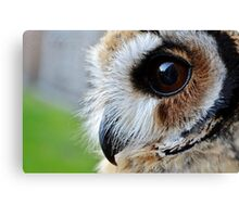 Loki-The mexican striped owl Canvas Print