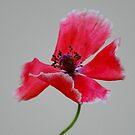 Pretty Poppy by farmbrough