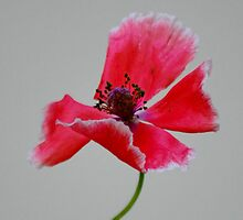 Pretty Poppy by farmbrough