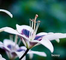 White Lily by beresy
