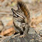 Hello chipmunk! by Anthony Brewer