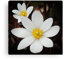 Bloodroot flowers shining in the spring Canvas Print