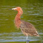 A Reddish Egret by jozi1
