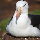 Black-browed Albatross Nesting by Carole-Anne