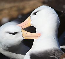 Black-browed Albatross Pair Bonding by Carole-Anne