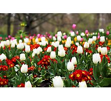 White Tulips in Spring in London Photographic Print