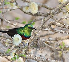 Marico Sunbird - African Wildlife - Iridescent Colors and Beauty by LivingWild